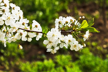 sprig of cherry blossoms in spring forest
