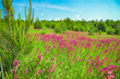 rural summer landscape with the  a blossoming meadow