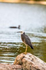 Heron on Rock Vert