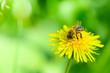 canvas print picture - Honigbiene auf Löwenzahn