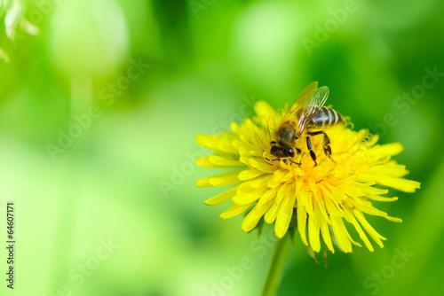 canvas print picture Honigbiene auf Löwenzahn
