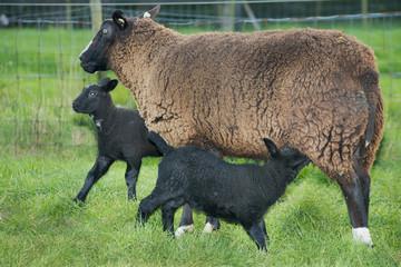 sheep with black lamb