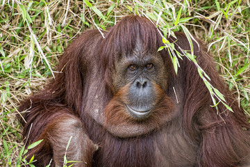 orangutan portrait on the grass background
