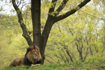 male lion on forest savana background