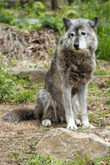 Grey wolf while looking at you