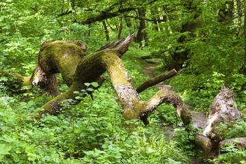 Old felled mossy oak tree