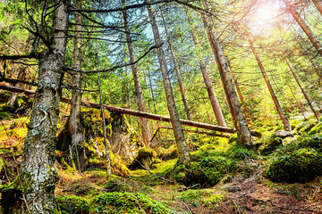 Coniferous Forest In The Alps