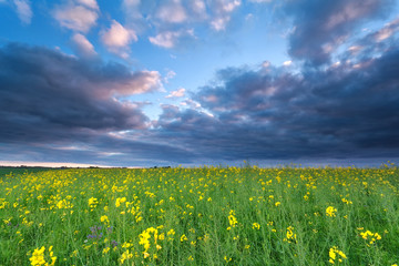 rapeseed flower field at sunset