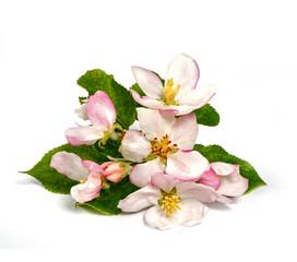Blüten eines Apfelbaumes