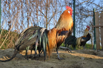 Colorful roosters on farm