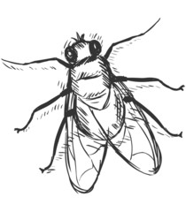 Vector Sketch Illustration - Fly