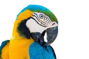 blue yellow parrot macaw bird isolated on white background