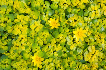 Background of yellow spring flowers primroses