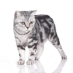 Britisch Kurzhaar Katze schaut schräg nach unten