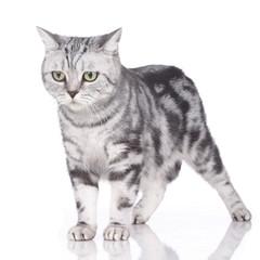 Mißmutige Britisch Kurzhaar Katze