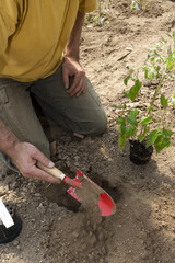 Tomaten Jungpflanzen im Folientunnel auspflanzen