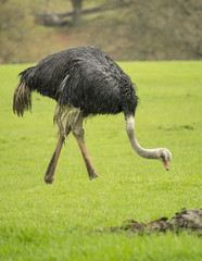 Ostrich eating grass