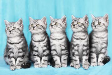 Fünf Britisch Kurzhaar Katzen schauen zur Seite