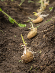 Sowing potatoes process