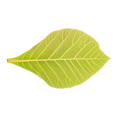 Teak Leaves Isolated