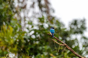 Forest Kingfisher - Daintree Rainforest