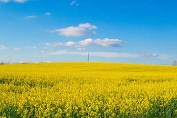 Canola field with electrical pole