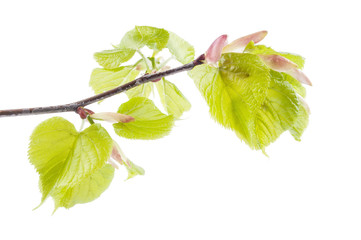 First spring leaves on a twig isolated on white