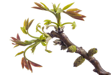 Walnut twig at spring