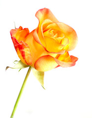 Bright fresh orange rose isolated