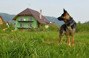 Posing shepherd
