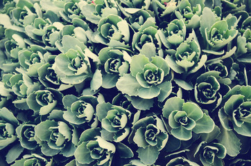Many small clusters of succulent leaves with retro filter effect