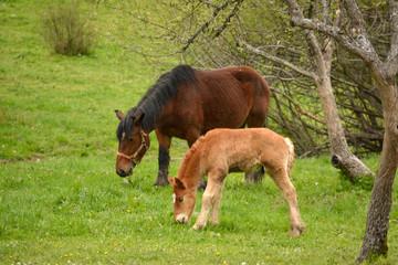 caballo y potro pastando en un prado de hierba verde en verano