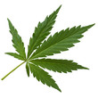 Leinwanddruck Bild - hanf, cannabis,
