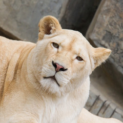 Female African white lion resting