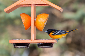 Oriole and Grape Jelly