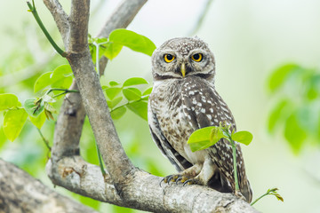 Spotted owlet( Athene brama) stair at us in nature