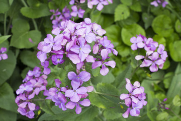 The flowers of the blossoming Lunaria rediviva