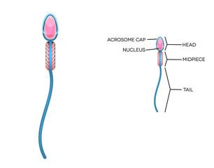 Male sperm detailed diagram