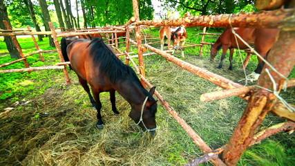 Horse nibbling grass