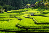 Rice terraces of Bali Island,Jatiluwih, Ubud
