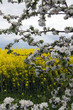 Apfelblüte vor Rapsfeld