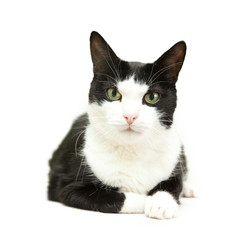 beautiful black and white cat on a white background
