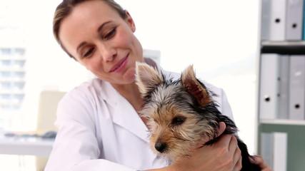 Vet checking a yorkshire terrier