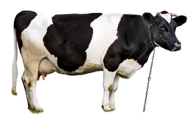 cow standing in front of isolated white background