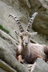 Stambecco delle Alpi - Capra Ibex