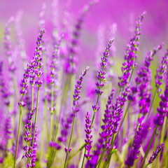 Colorful lavender flower © robsonphoto