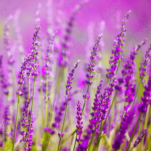 Colorful lavender flower