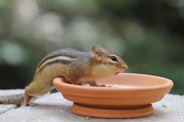 Chipmunk - Asking for More Food