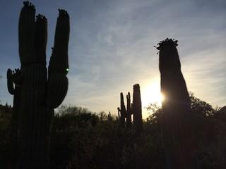 cactus silouette sunset