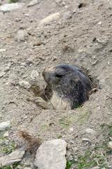 Marmotta all'uscita della sua tana